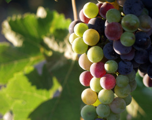 Grapes_during_pigmentation_2