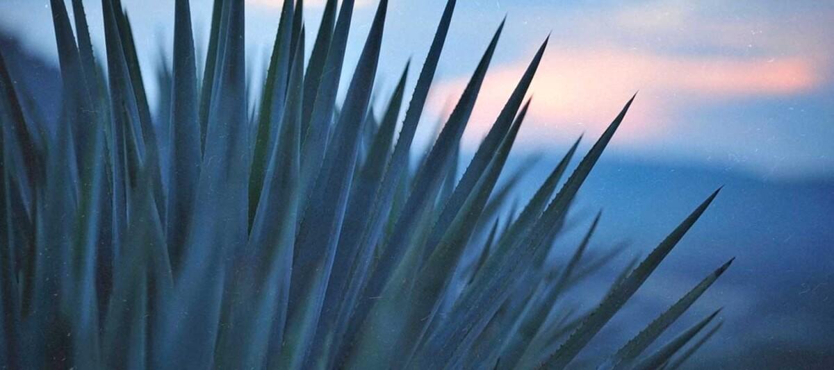 agave azul, bebidas alcohólicas, tequila Jalisco