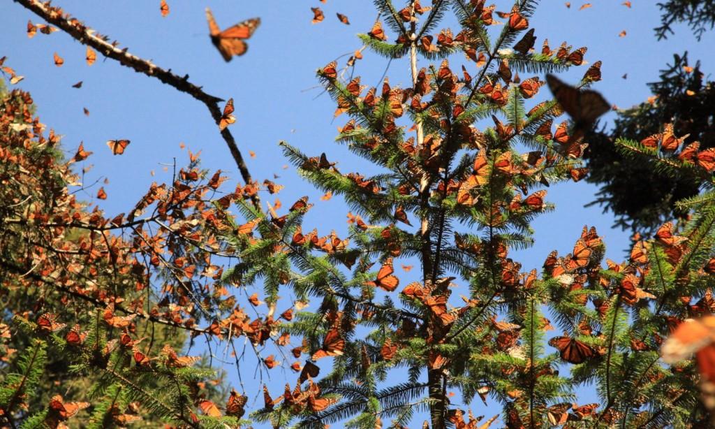 El sublime vuelo de las mariposas monarca en los santuarios de México (VIDEO)