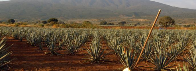 tequila en jalisco foto paisaje agaves