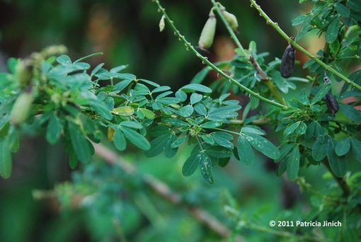 chipilín hierba