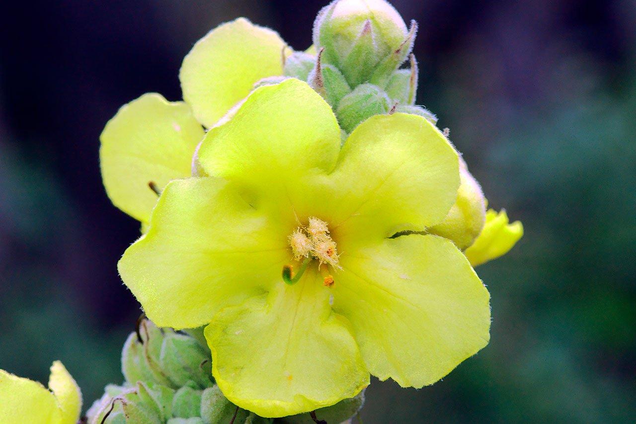 gordolobo medicina maya propiedades medicinales