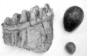 aguacate debió extinguirse hace millones de años