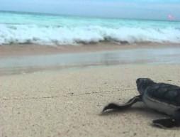 tortugas santuario Xcacel-Xcacelito