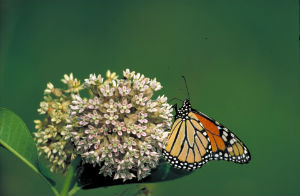 monarch-butterfly-569432_960_720