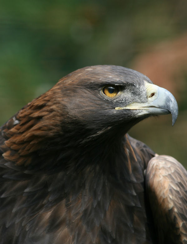 águila animales mitológicos méxico