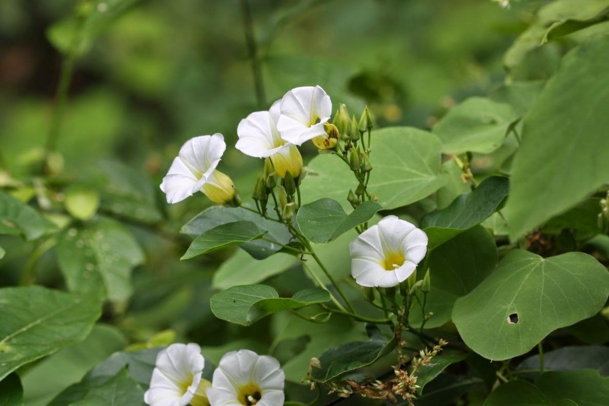 ololiuqui plantas sagradas