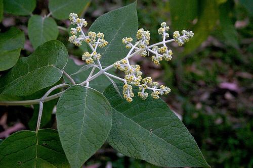Buddleja cordata Kunth plantas medicinales
