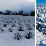 Agaves nevados en Jalisco/ Imagen: zonaguadalajara.com