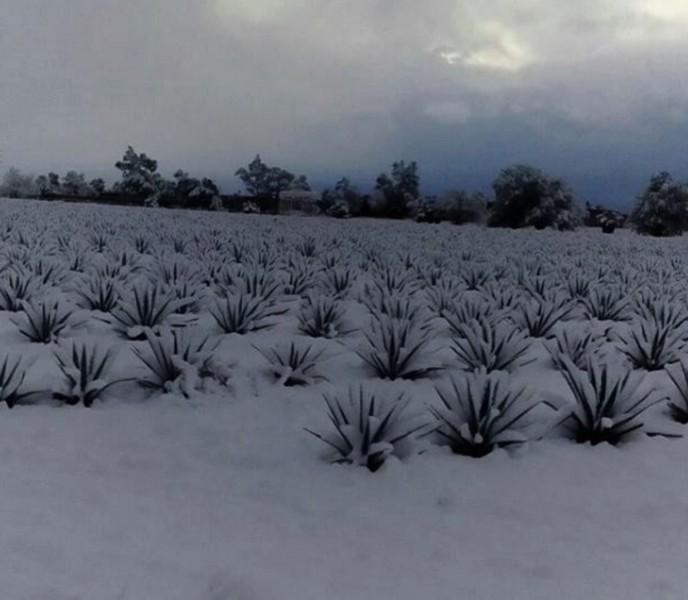 jalisco agave nevadas 2016