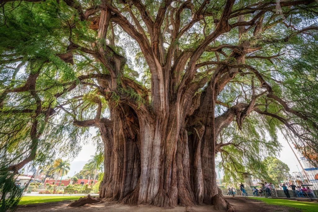 árbol-del-tule-2