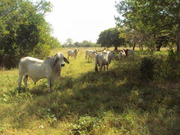 brahman-sementales-novillonas-y-vacas-pijijiapan-mexico_1