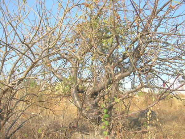 Bursera trifoliolata Builock copal plantas medicinales méxico
