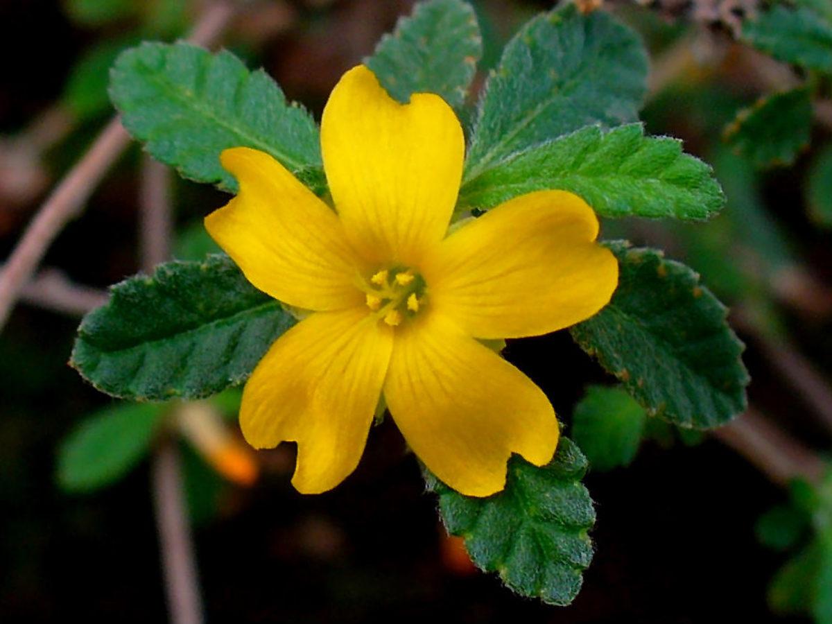 La damiana, la hermosa planta medicinal que los mayas usaban como ...