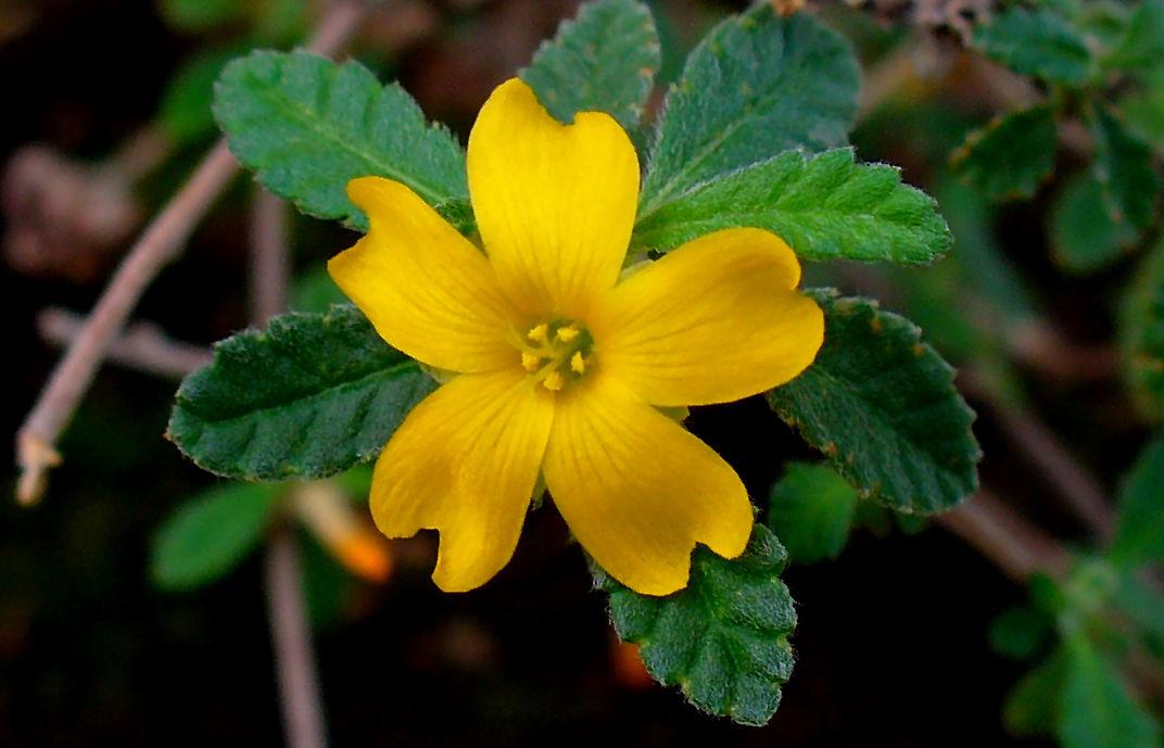 La Damiana  La Hermosa Planta Medicinal Que Los Mayas
