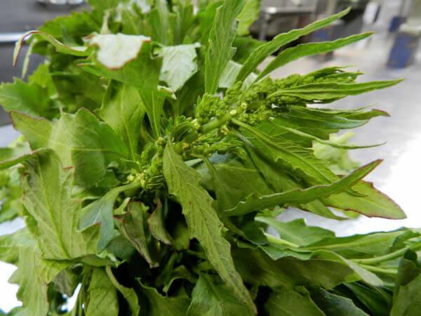 Dysphania ambrosioides plantas medicinales mexicanas epazote