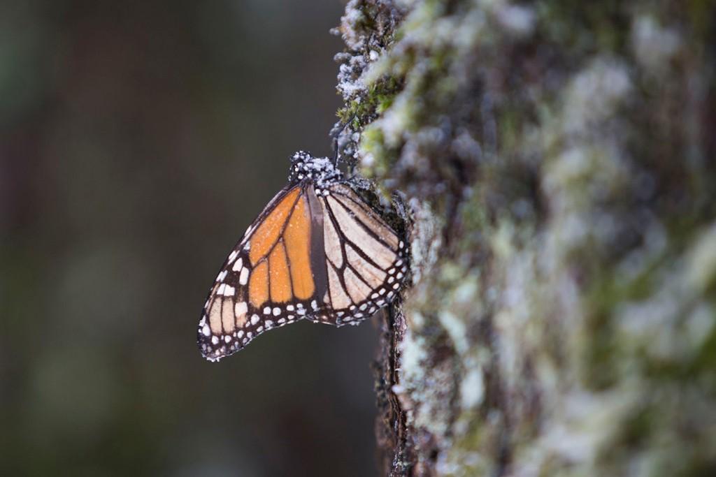 """Mira a la mariposa monarca """"renacer"""" luego de las inusuales tormentas de nieve (VIDEO)"""