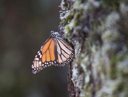 mariposa monarca congelada