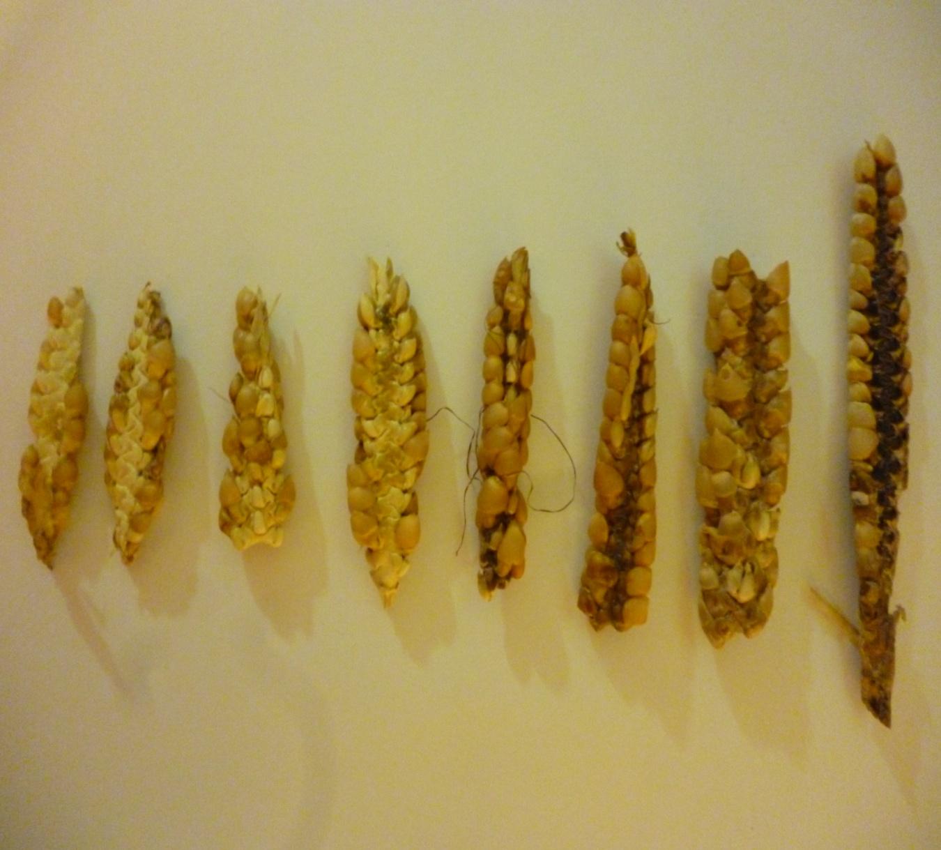 tezontle maíz