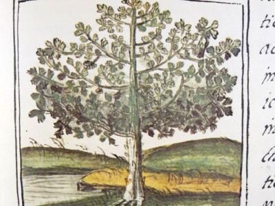 codice florentino árbol