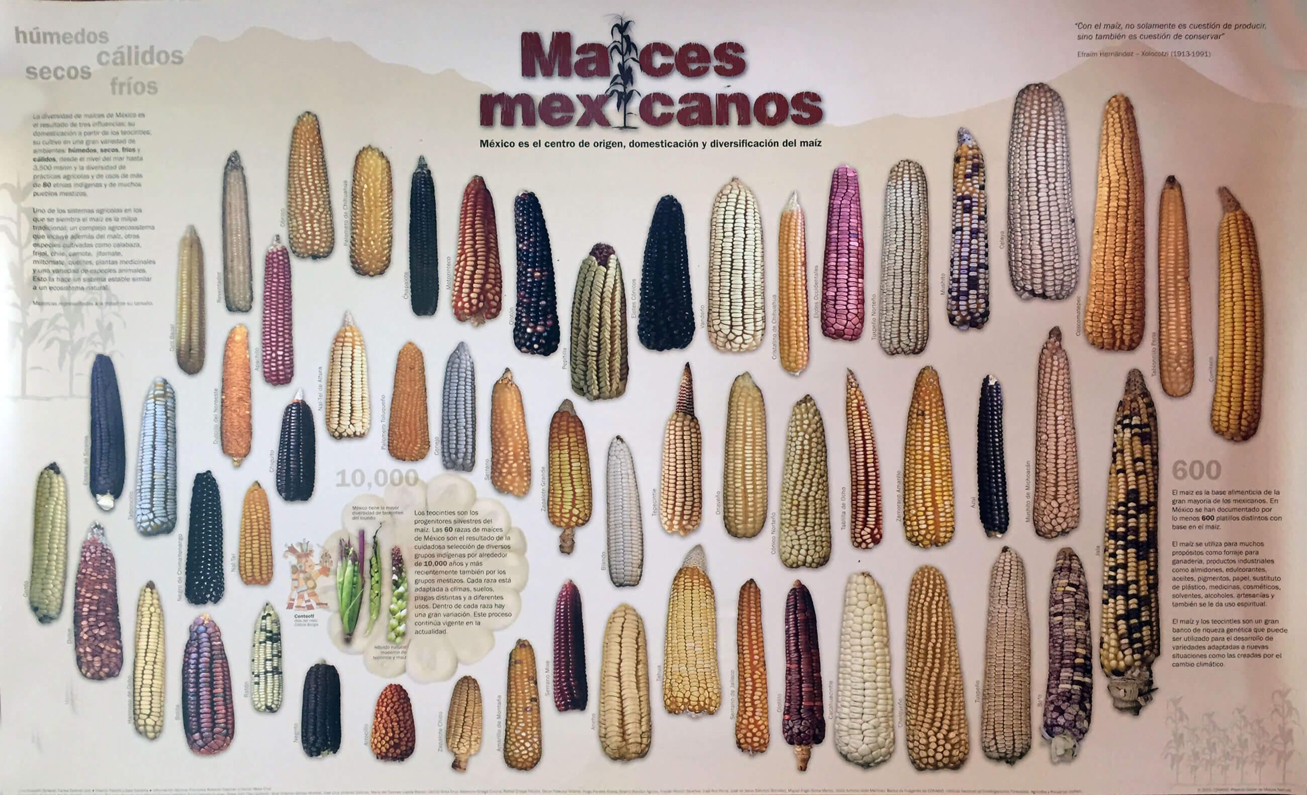 tipos de maíz mexicanos