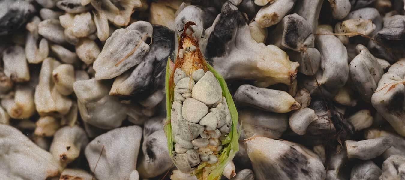 huitlacoche, maíz, alimento mexicano