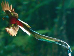 pajaro quetzal en pleno vuelo