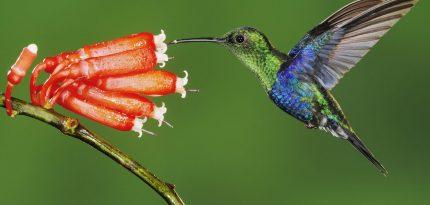 colibríes colibrí en méxico