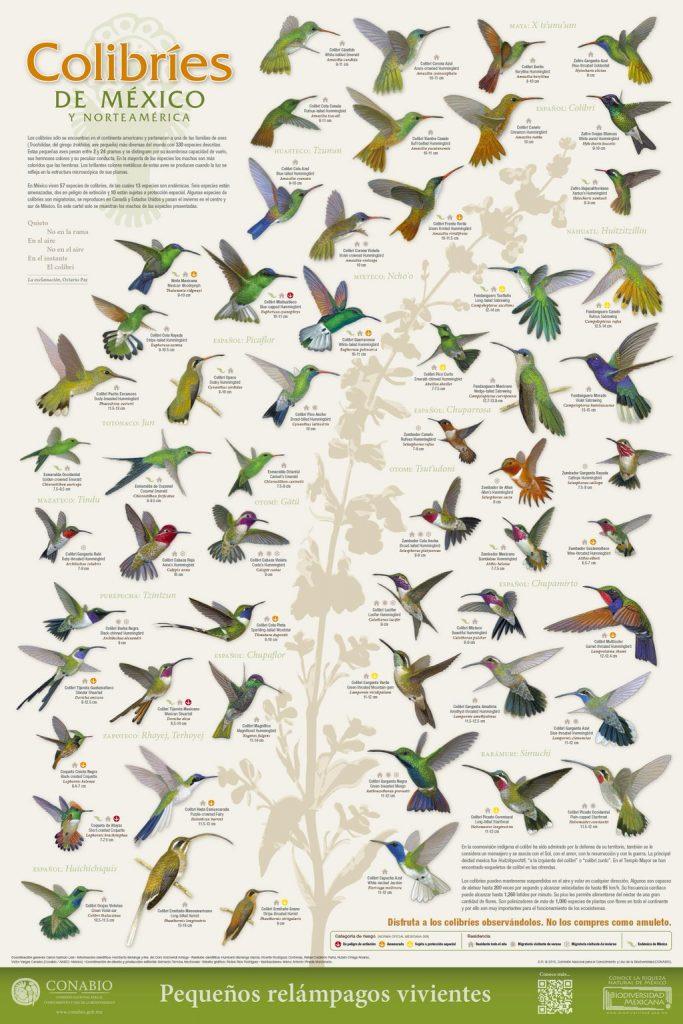 colibrí colibríes especies méxico