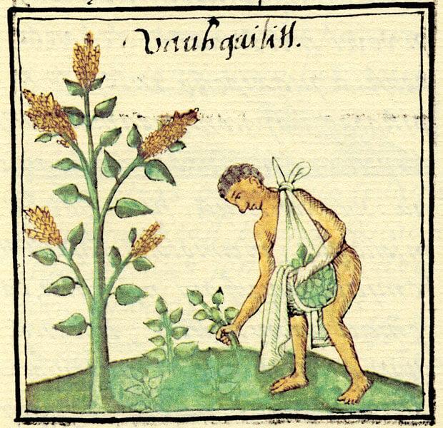 quelites códice florentino