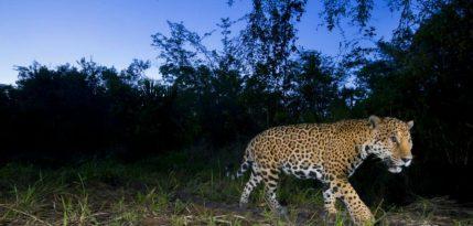 jaguar fernando constantino