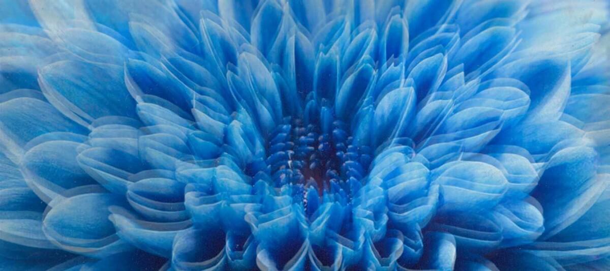 flor dalia, flor comestible, flor de Mexico