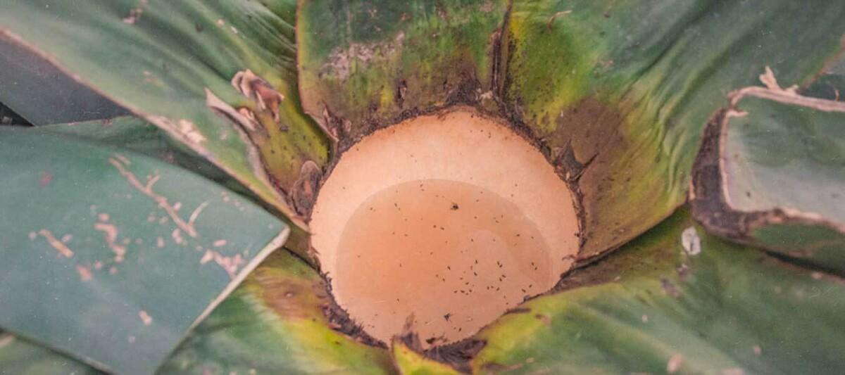 bebidas prehispanicas, atole aguamiel, recetas prehispanicas