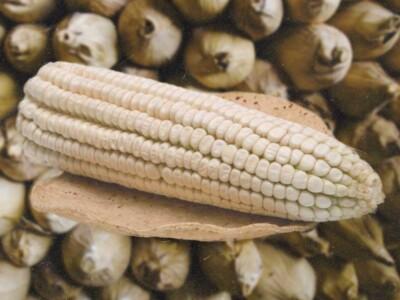 Beneficios del maíz, elote cacahuacintle, diversidad de maíz