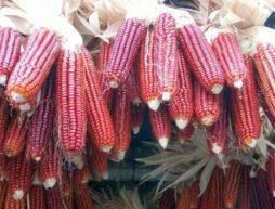 maíz cultivo macetas Jornada Milpa Sustentable