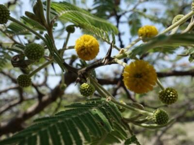 arbol-tepezcohuite