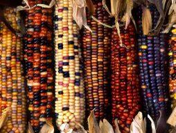 dia-nacional-del-maiz