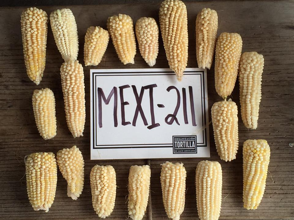 primera cosecha maiz palomero mexicano