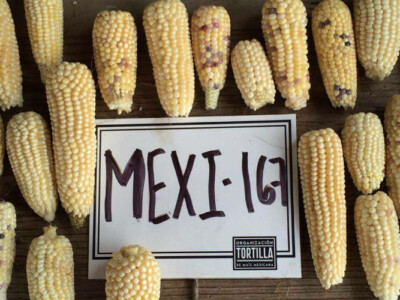 primera-cosecha-maiz-palomero-mexicano