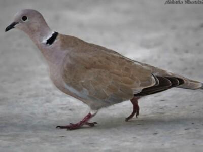 paloma de collar paloma habanera