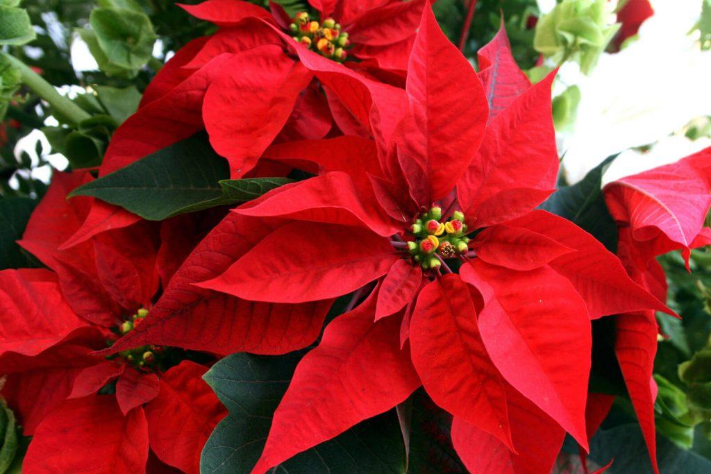 La flor de Noche Buena, un regalo navideño de México para el mundo