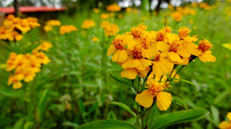 hierbas de tlaloc flor de pericon estafiate