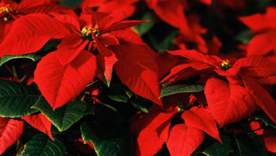 leyendas mexicanas navidad flor noche buena