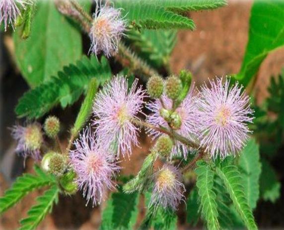 Floraciones de la miel de Yucatan Chicorium y Mimosas