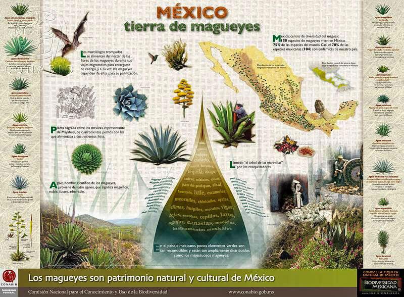 especies variedad magueyes mexico