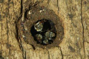 jobones abejas maya miel maya