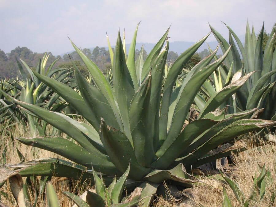 maguey agave especies tipos mexico