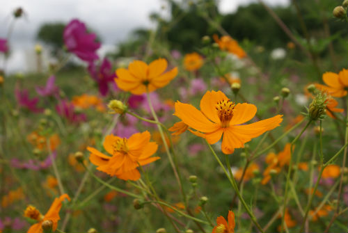 xochipal tintura flor prehispanica colorante
