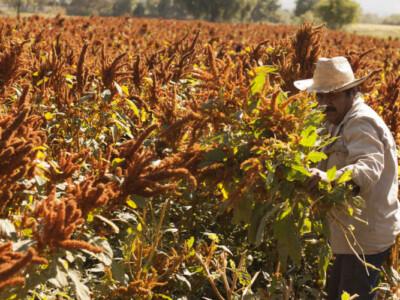 declaran al amaranto como alimento estrategico para mexico
