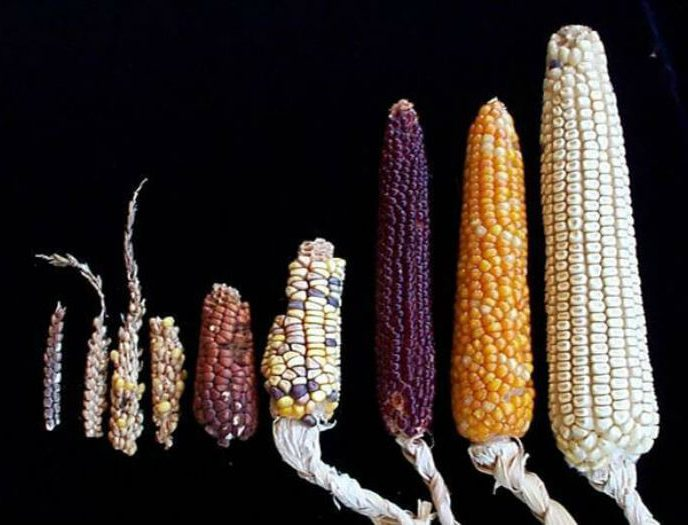 teocintle antepasado del maiz